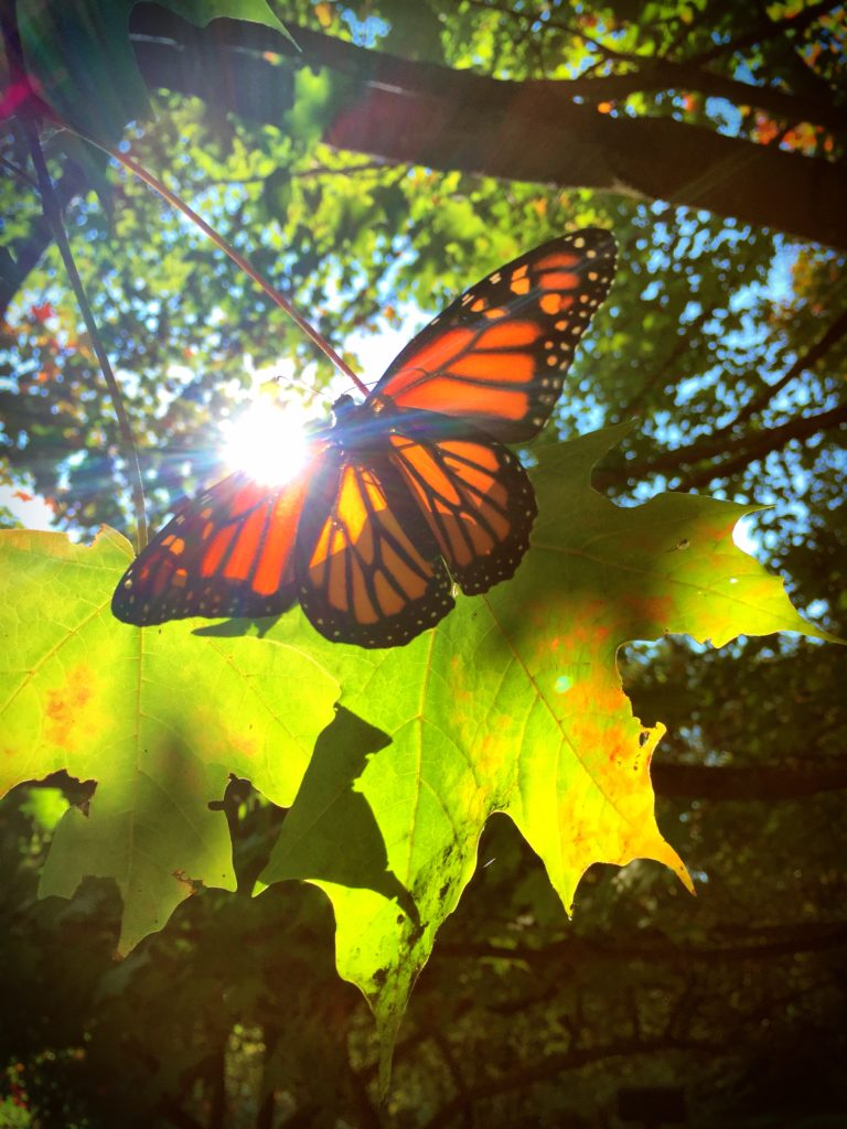 Monarch in sun
