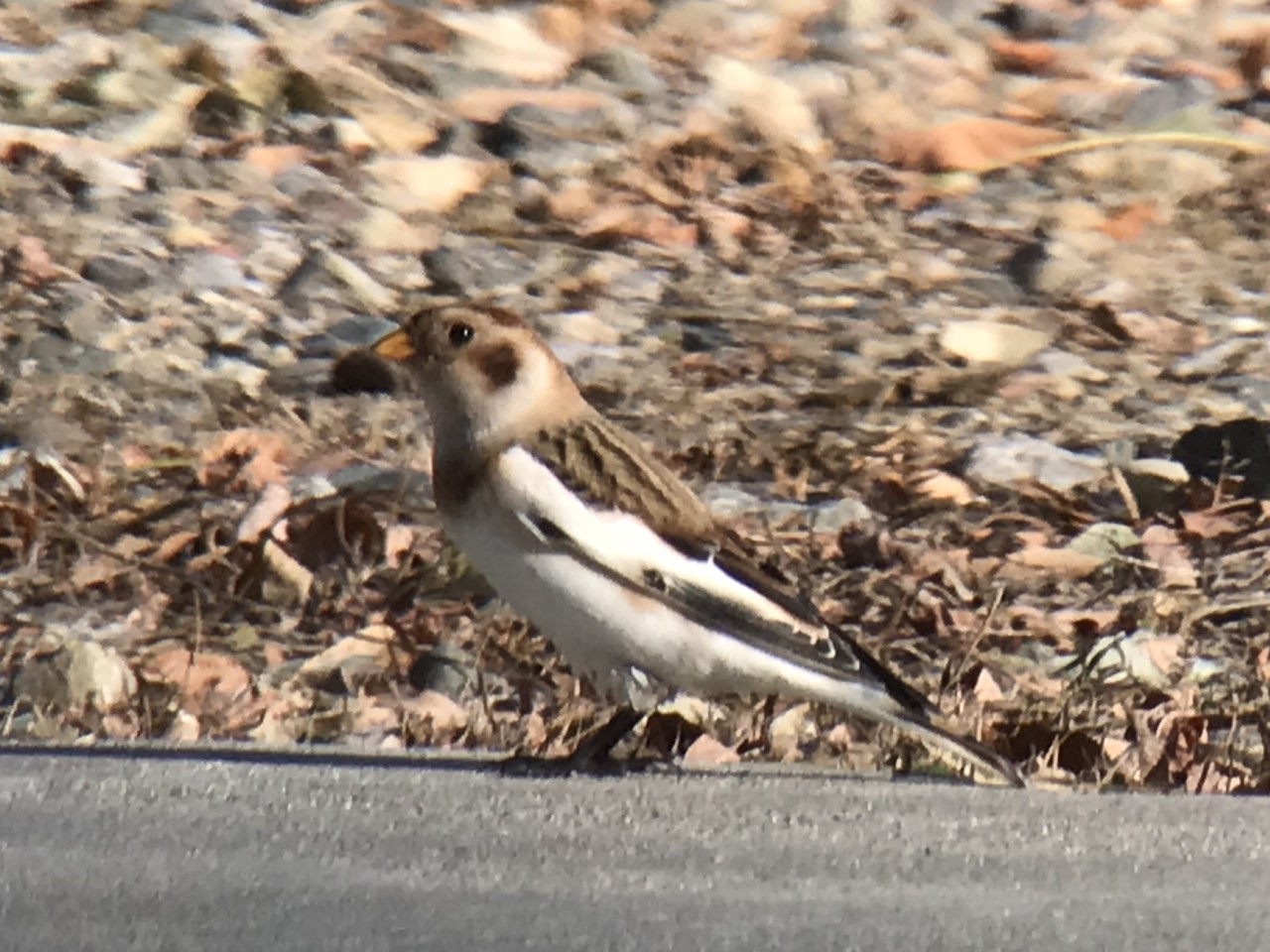 Snow Bunting at Seven Ponds