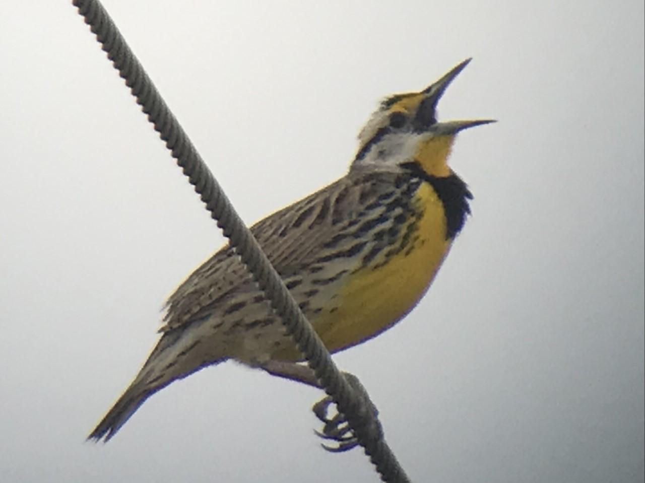 Eastern Meadowlark singing at the Richie Pond Preserve