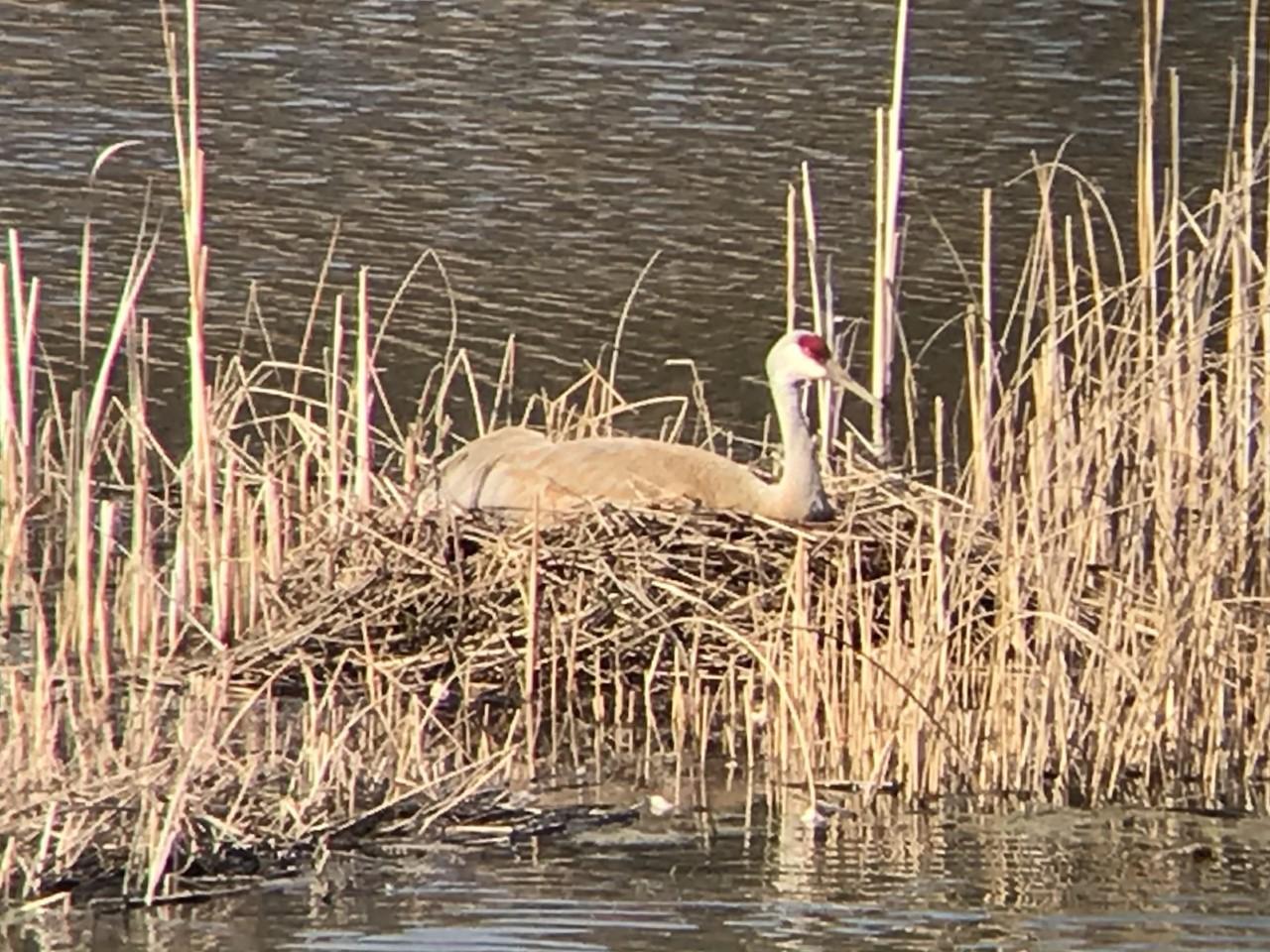 Sandhill Crane on its nest in the North-80