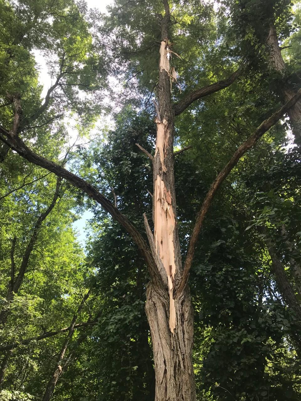 Black Locust tree with lightning scar