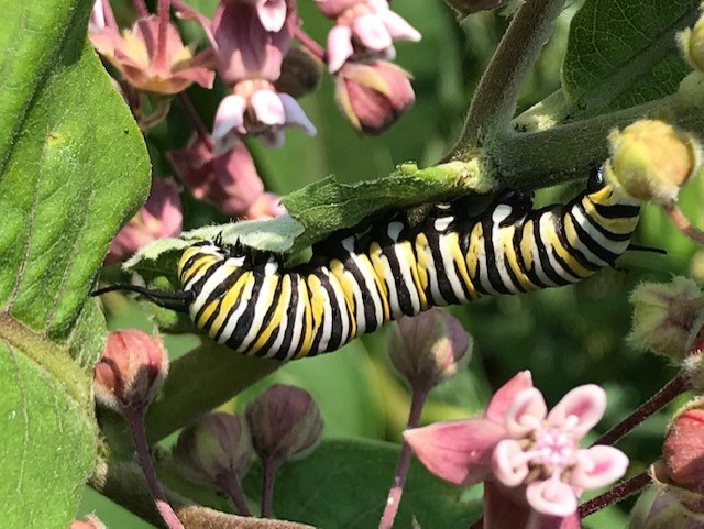 Monarch caterpillar on milkweed in the North-80