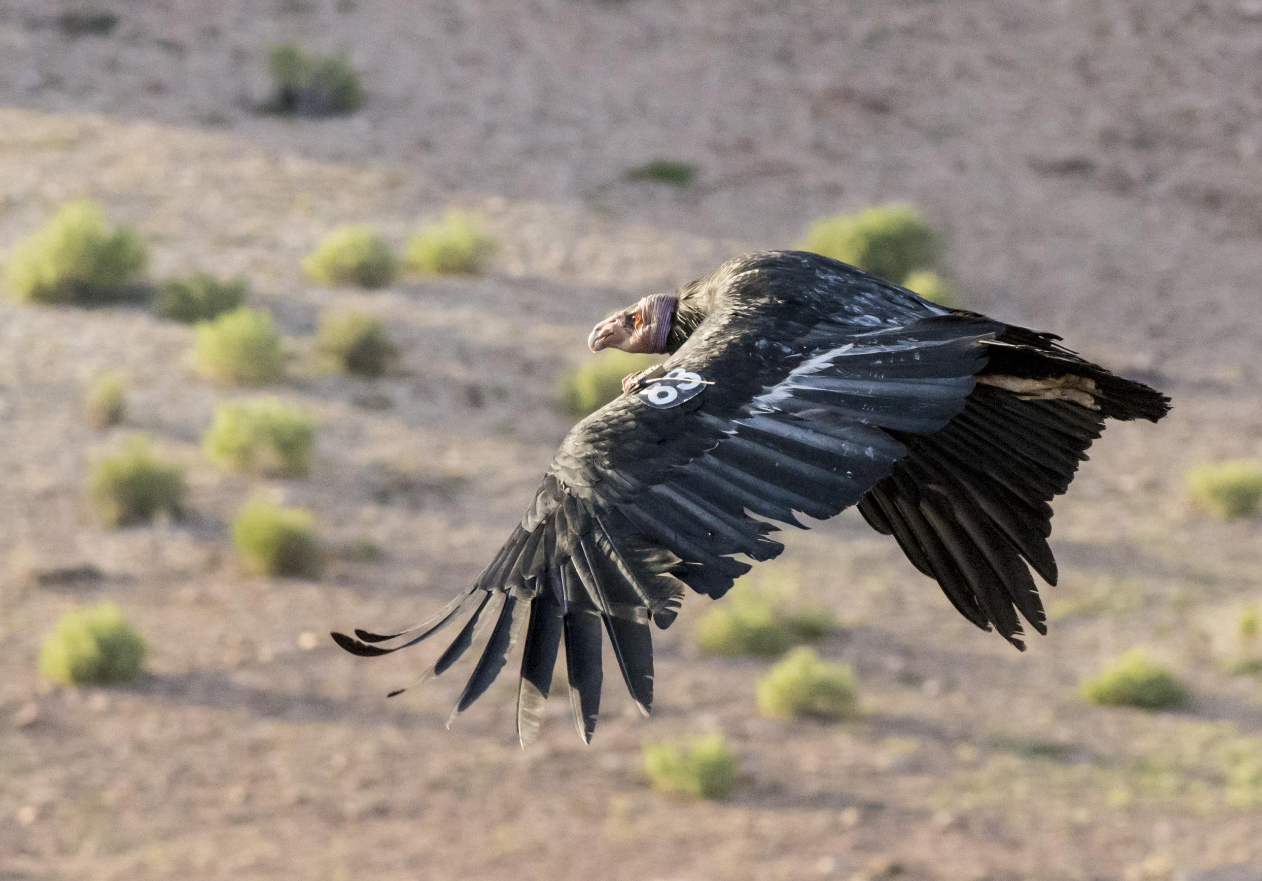 Condor 1 - SB