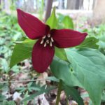 red trillium in the Woodland Wildflower Area
